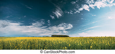 Blossom Of Canola Yellow Flowers Under Sunny Sky. Rape Plant, Rapeseed, Oilseed Field Meadow Grass Landscape. Panorama, Panoramic View