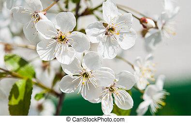 Blossom of cherry tree flowers