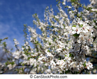 Blossom of cherry tree flowers in spring background