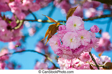 blossom of cherry tree in springtime. beautiful nature...