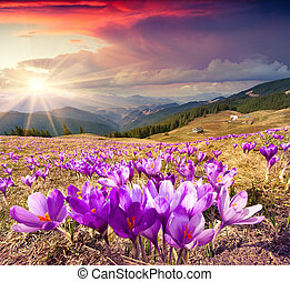 Blossom of crocuses at spring in the mountains.