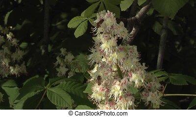 chestnut - blossom of horse-chestnut tree/conker