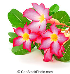 Impala Lily - Blossom of Impala Lily, a beautiful red flower...