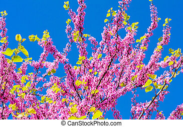 Blossom of judas tree in spring with blue sky around. Concept of background with flowers