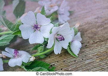 Blossom of marshmallow