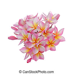 Blossom of red Plumeria flower, tropical flower isolated on a white background