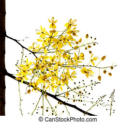 Blossom of the Golden Shower Tree isolated on white