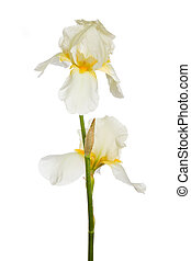 Blossom of white iris isolated on a white background