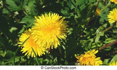 Blossom of yellow blowball flowers in springtime sunny day....