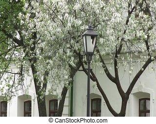 Blossom on a tree in Kiev