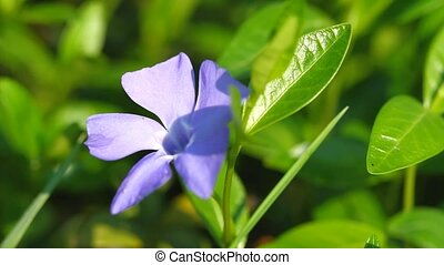 Blossom periwinkle flowers on thee green grass