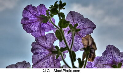 Blossom petunia, HDR. - Petunia flower blossoms. Timelapse,...