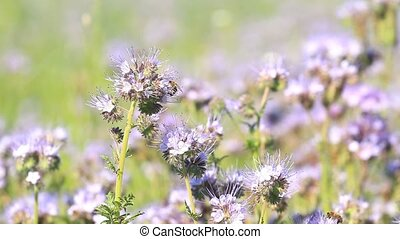 Blossom phacelia flowers and pollinate bees