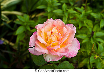 blossom pink roses