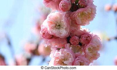 Blossom pink sakura flowers with slider