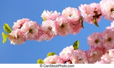 Blossom pink sakura in sunny day