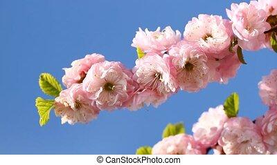 Blossom pink sakura in sunny spring day
