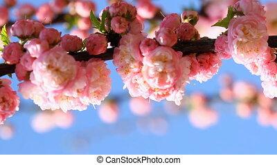 Blossom pink sakura tree in sunny day