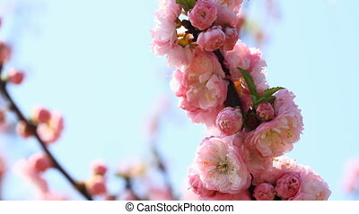 Blossom pink sakura tree in sunny day with slider