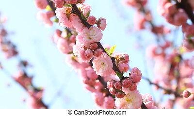 Blossom pink sakura tree with slider and singing nightingale...