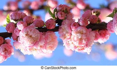 Blossom pink sakura tree in spring day