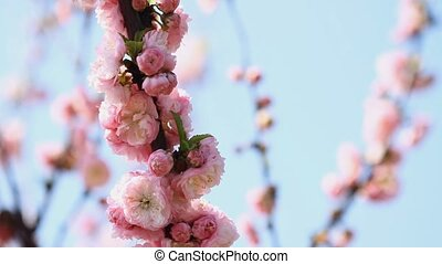 Blossom pink sakura with blue sky background.