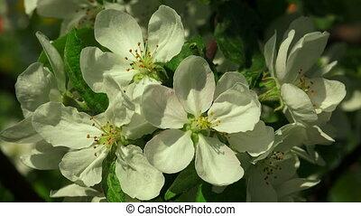 blossom., pomme