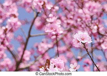 blossom , pruim