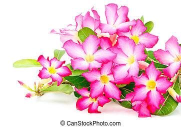 Impala Lily - Blossom red flower, Desert Rose-Impala Lily- ...