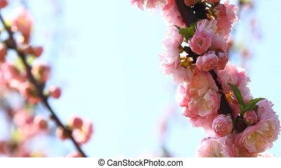 Blossom sakura and Sing Nightingale - Blossom pink sakura...