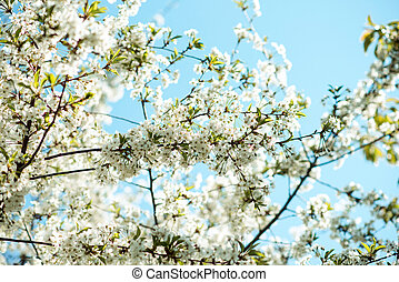 Blossom tree branch. Cherry flowers in spring.