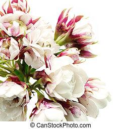 Glory Bower - Blossom white flower, Glory Bower (...