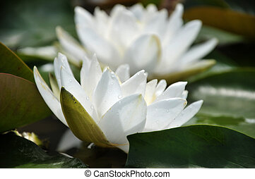 Blossom white lotus flower in pond