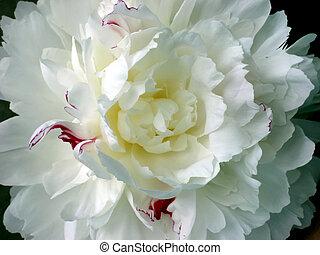 blossom , witte , peony