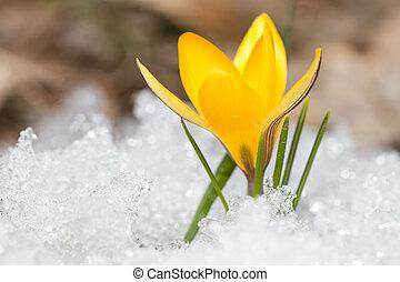 Blossom yellow crocus