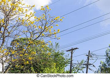 Blossomed araguaney under blue sky - Handroanthus chrysanthus
