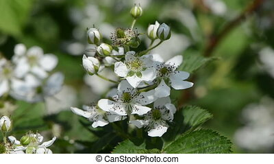 blossomed blackberries - young blossomed rubus caesius...
