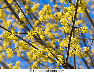 Blossomed tree with yellow flowers