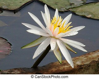 blossomed white lotus in a pond