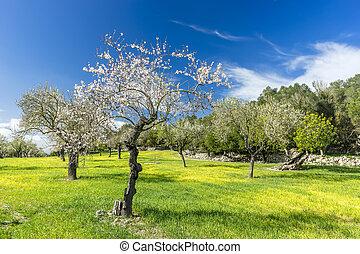 blossoming, дерево, миндальный