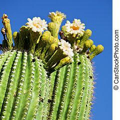 blossoming, кактус