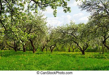 blossoming, фруктовый сад
