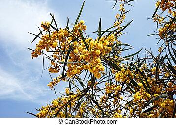 Blossoming acacia - Branches of blossoming acacia on sky...