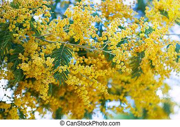 Blossoming Acacia dealbata with buds