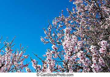 Blossoming almond tree in springtime