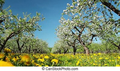 blossoming apple orchard, shooting slider