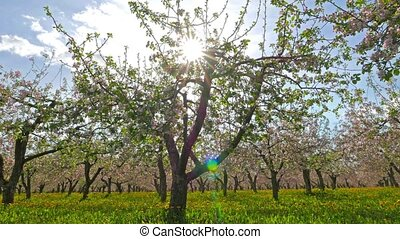 Blossoming apple orchard