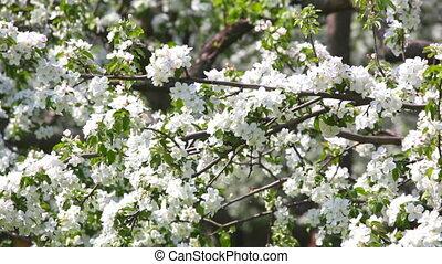 blossoming, apple-tree