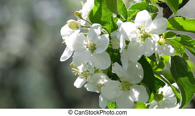 blossoming, apple-tree