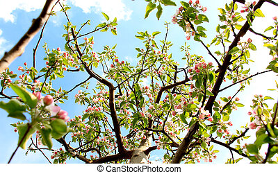 blossoming apple tree against blue sky